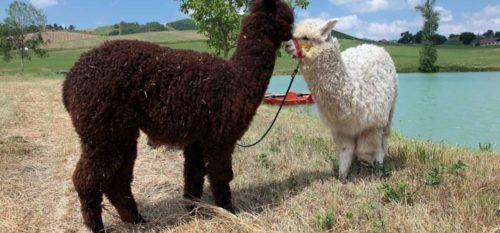 Agriturismo nelle Marche con alpaca
